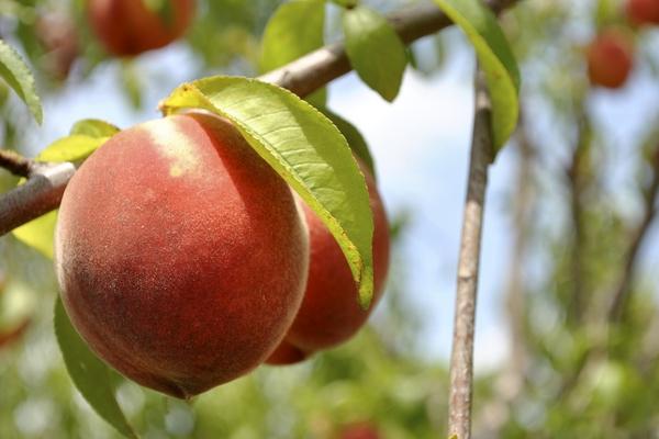 persiki-protiv-nektarinov-chto-iz-nih-poleznee-i-zdorovee4